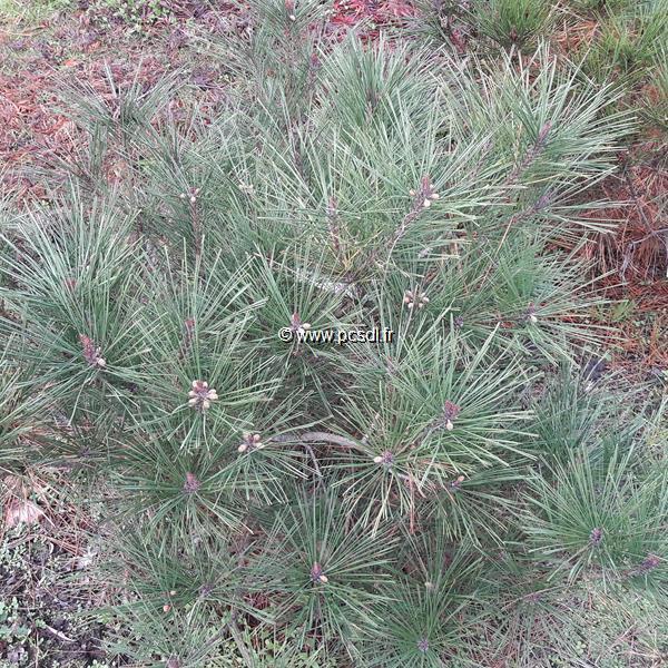 Pinus densiflora \'Alice Verkade\' C10L 40/60