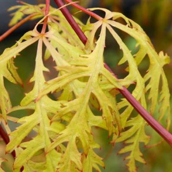 Acer palmatum \'Dissectum Moss Gold\' C5L Tige 45cm