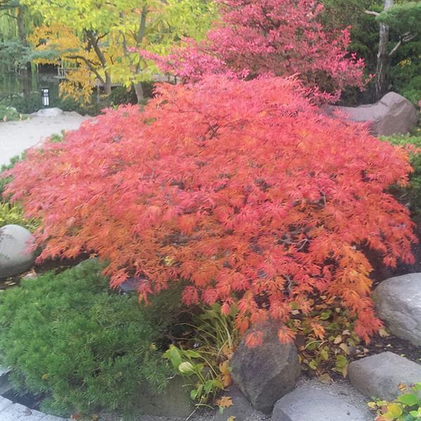 Acer japonicum \'Green Cascade\' C7L 40/60