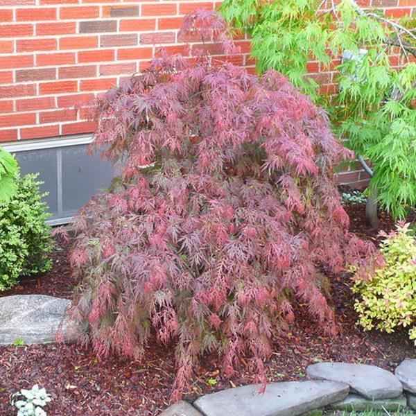 Acer palmatum \'Dissectum Orangeola\' C30L 100/125