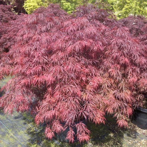 Acer palmatum \'Dissectum Red Dragon\' C5L 40/60