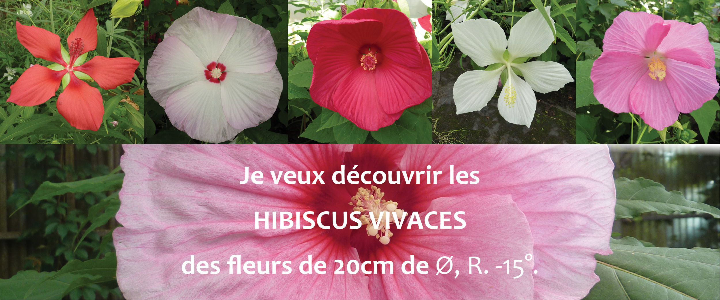 Hibiscus vivaces