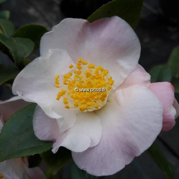 Camellia x \'Cinnamon Scentsation\' C4L 30/40