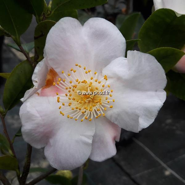 Camellia x \'Cinnamon Scentsation\'