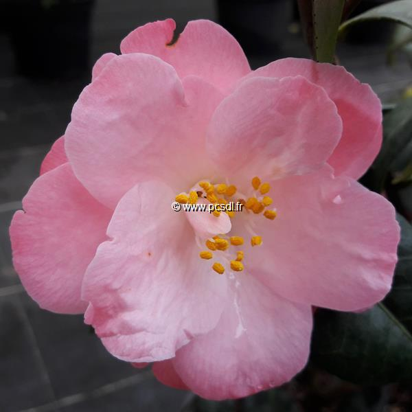 Camellia japonica \'Berenice Boddy\' C20L 80/100