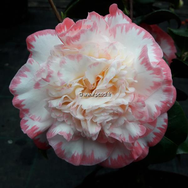 Camellia japonica \'Margaret Davis\' C20L 100/125