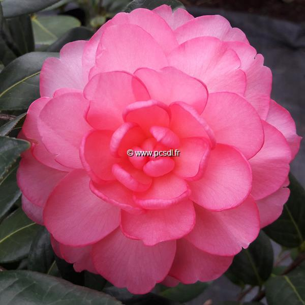 Camellia x williamsii \'Waterlily\'