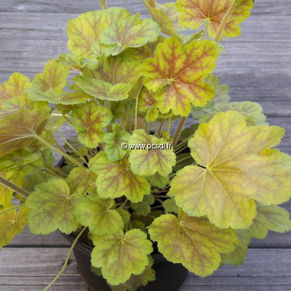Heuchera \'Miracle\' C3L