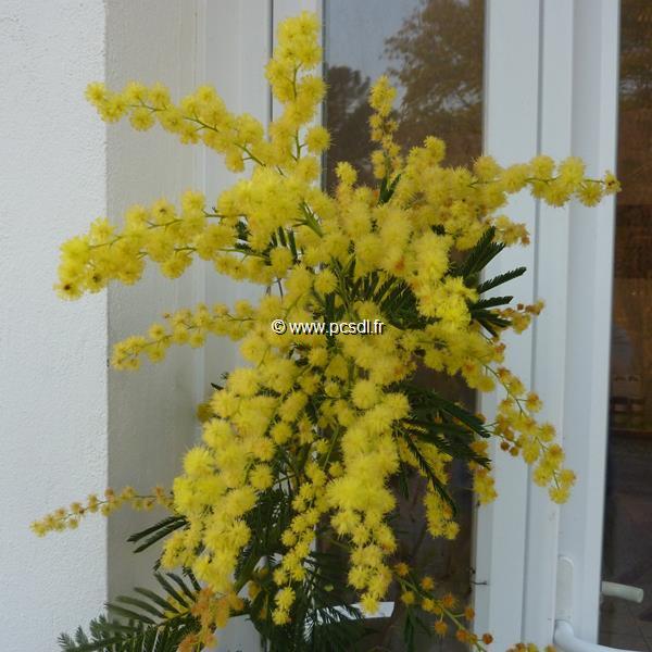 Acacia dealbata \'Gaulois Astier\' C4L 125/150