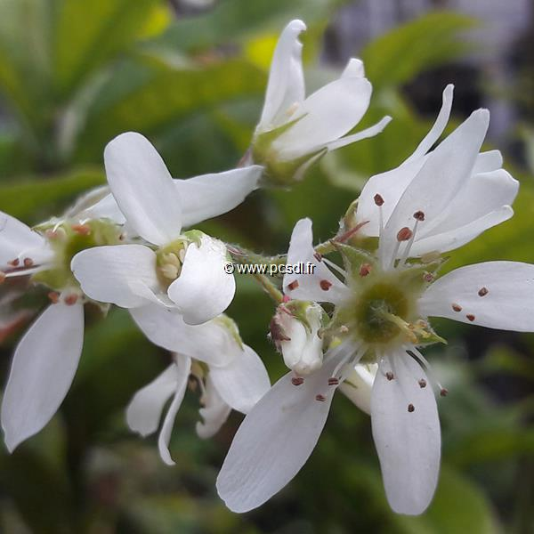 Amelanchier canadensis \'Prince William\' C4L 40/60
