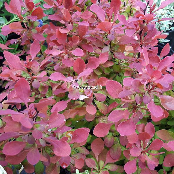Berberis thunbergii \'Ruby Star\' ® C4L 30/40