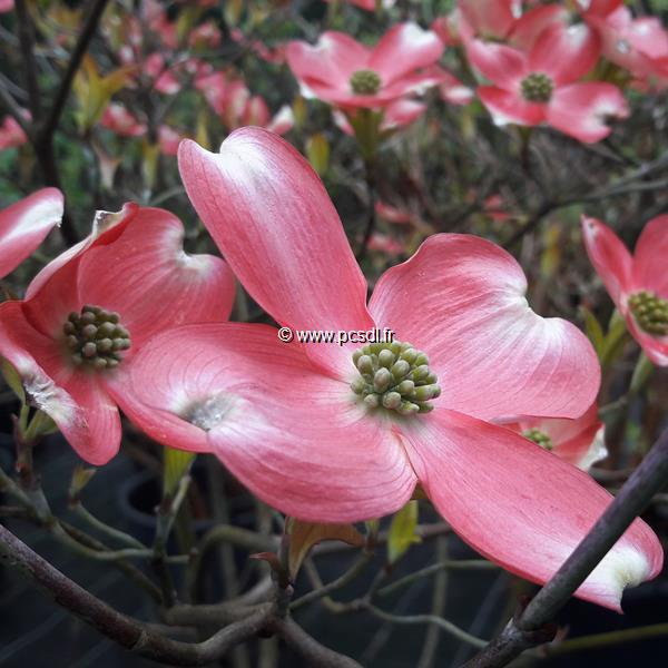 Cornus florida \'Cherokee Sunset\' C15L 100/125