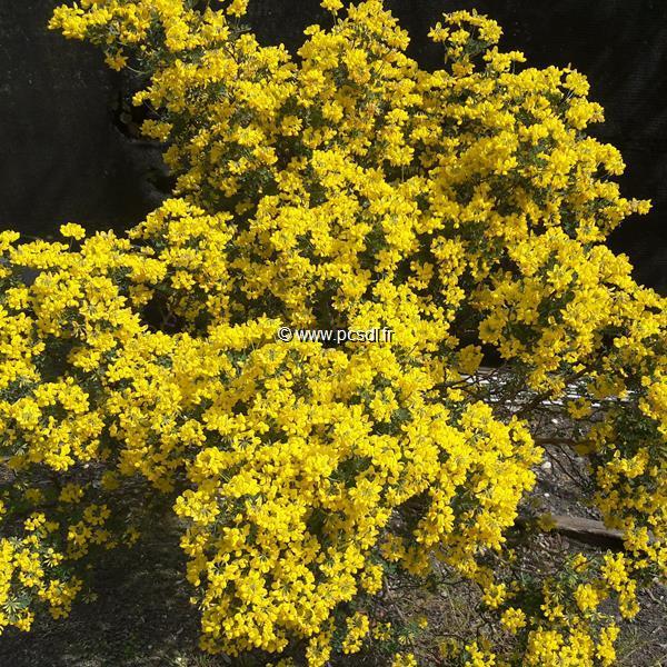 Coronilla valentina ssp. glauca C3L 30/40