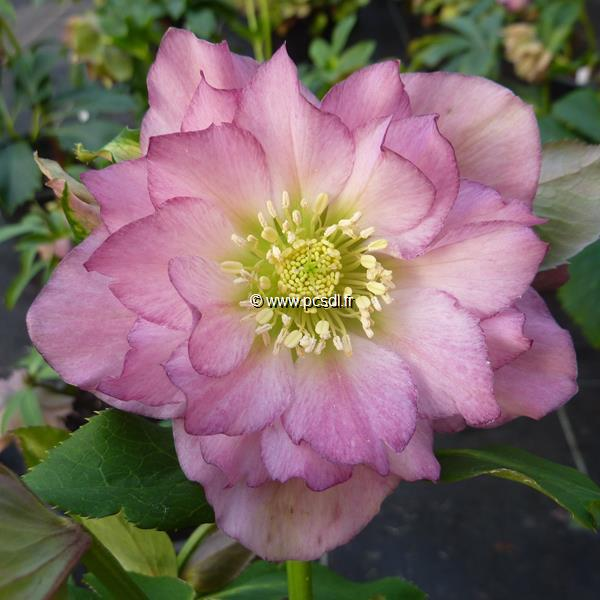 Helleborus orientalis rose double C3L
