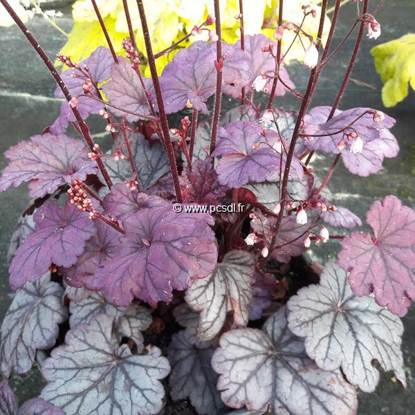 Heuchera \'Sugar Plum\' C3L