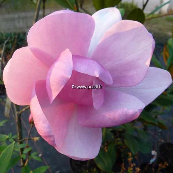 Magnolia \'Brixton Belle\' C15L 125/150