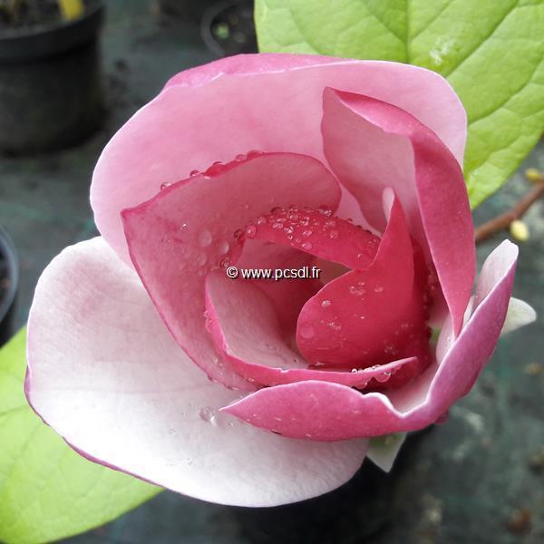 Magnolia \'Cameo\' ® C4L 40/60