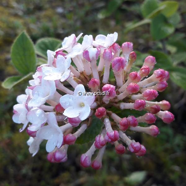 Viburnum carlesii \'Diana\' C4L 40/60