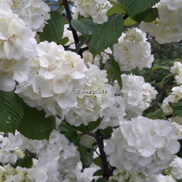 Viburnum plicatum \'Pop Corn\' C4L 40/60