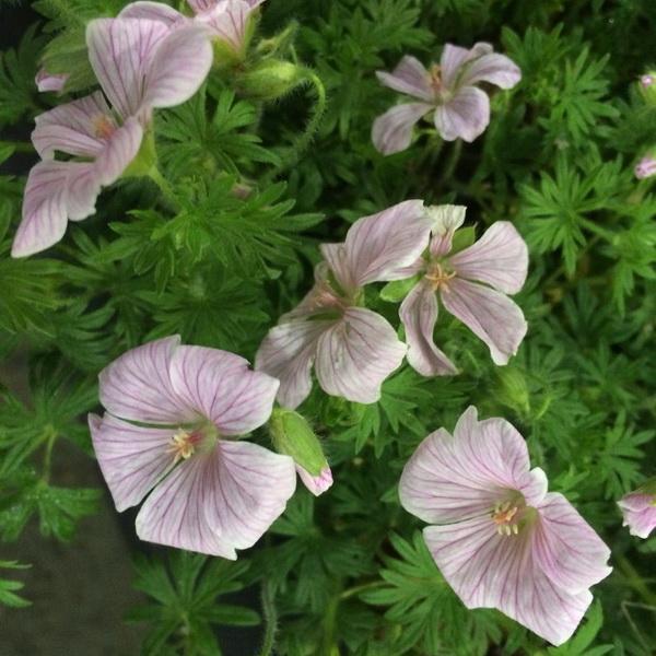 Geranium sanguineum \'Pink Pouffe\' C3L