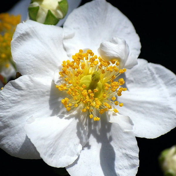 Carpenteria californica \'Bodnant\' C3L 20/30