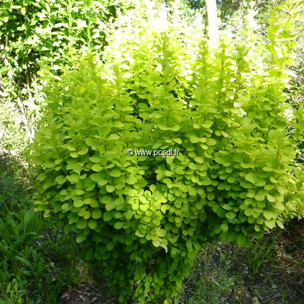 Berberis thunbergii \'Golden Torch\' ® C4L 30/40