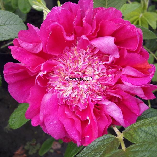 Rosa rugosa \'Souvenir de Trélazé\' C4L 30/40