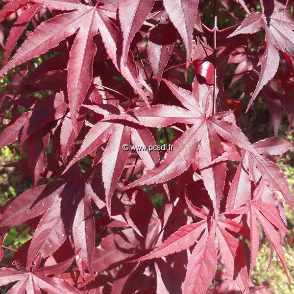 Acer palmatum \'Bloodgood\' C5L 40/60