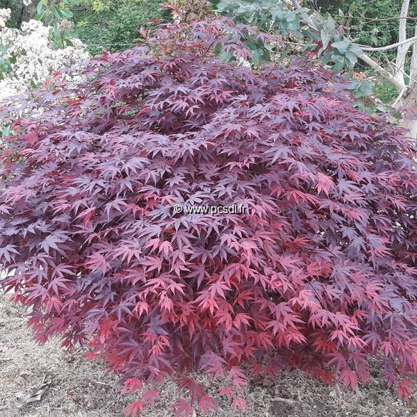 Acer palmatum \'Fireglow\' C4L 40/60
