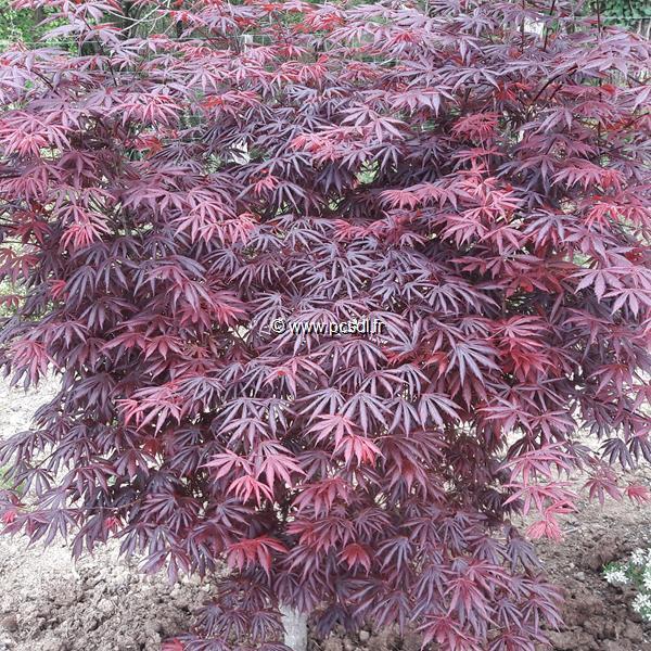 Acer palmatum \'Trompenburg\' C30L 125/150