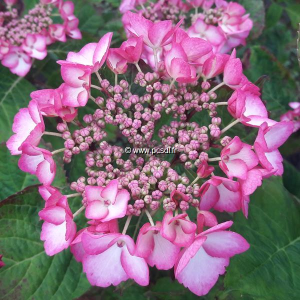Hydrangea macrophylla \'Blue Baby Blues\' C4L 20/40