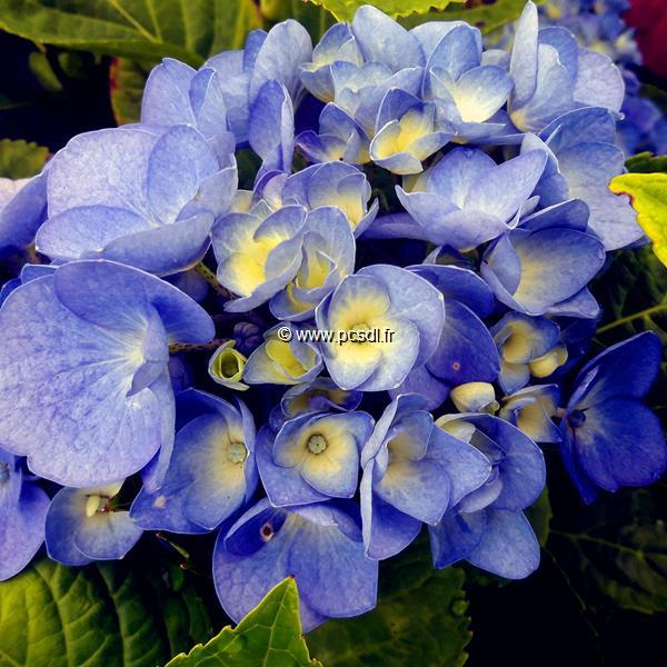 Hydrangea macrophylla Blue Diamond (1)