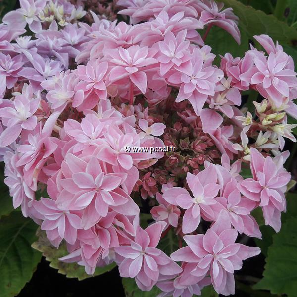 Hydrangea macrophylla \'Double Dutch\' ® C4L 20/40