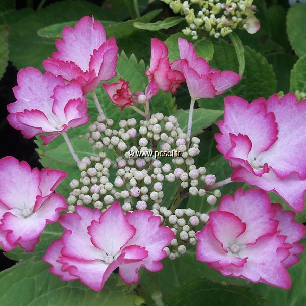 Hydrangea macrophylla (rendez-vous) \'French Cancan\' ® C4L 20/40