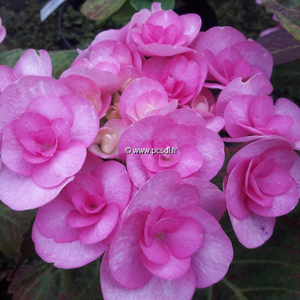 Hydrangea macrophylla (beautensia) \'Papillon\' ® C4L 20/40