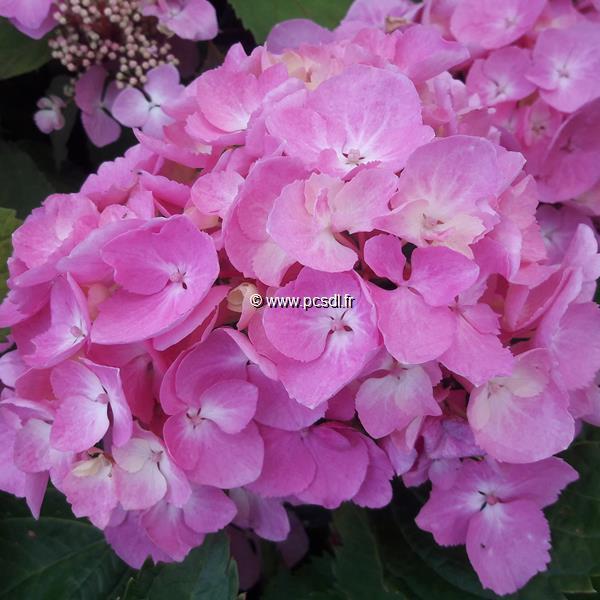 Hydrangea macrophylla Pink Lollipop (2)