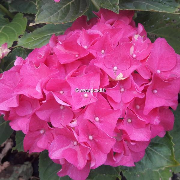 Hydrangea macrophylla \'Rosso Glory\' C4L 20/40
