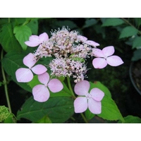 Hydrangea serrata 'Forget Me Not' 30/40 C4L