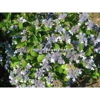 Hydrangea serrata 'Iyo Segure' 20/40 C4L