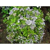Hydrangea serrata 'Oniji' 20/40 C4L
