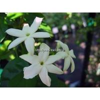 Jasminum sambac 40/60 C4L