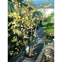 Magnolia x loebneri 'Leonard Messel' 150/200 C25L