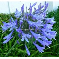 Agapanthus 'Blue Giant' C3L