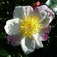 Camellia sasanqua 'Ondée'