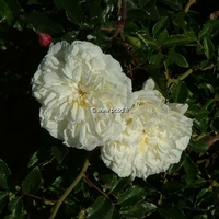 Rosa 'Albéric Barbier' 40/60 C4L
