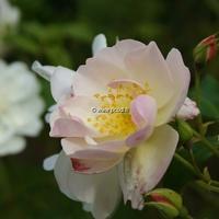 Rosa 'Sourire d'Orchidée' 40/60 C4L
