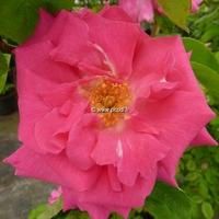 Rosa 'Zéphirine Drouhin' 80/100 C4L