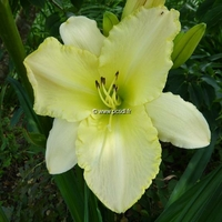 Hemerocallis 'Wedding Band' C3L