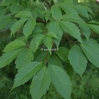 Acer cissifolium 350/400 C50L