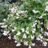 Abelia 'Raspberry Profusion' ® 40/50 C4L